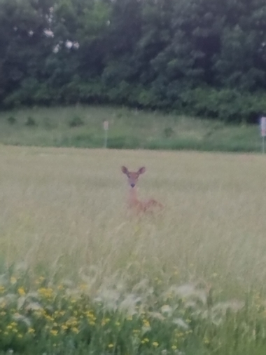 deer_in_grass